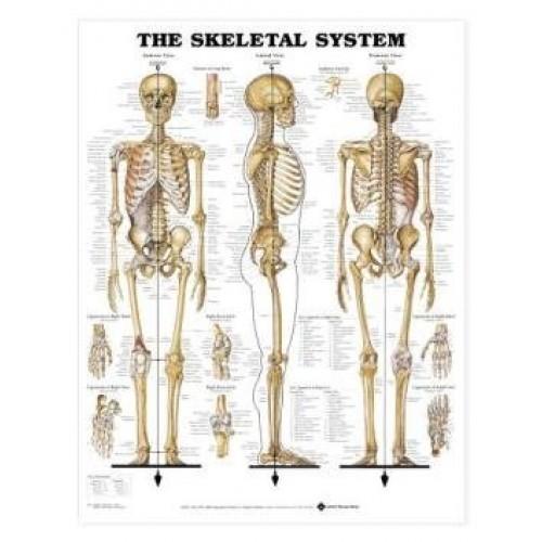 Skeleton Chart Human Anatomy System