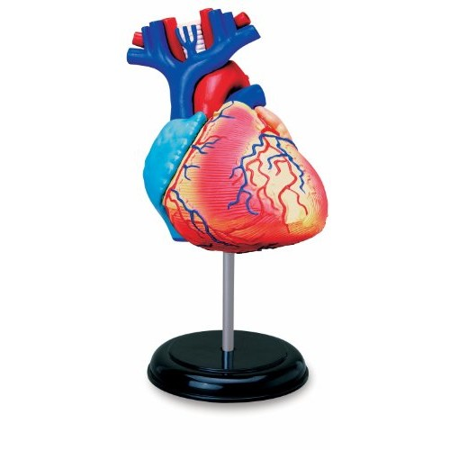 TEDCO Learn About Human Anatomy – Heart Model Age 8+