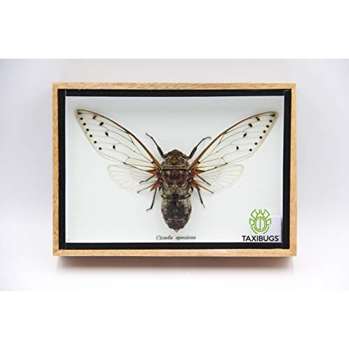 Cicada Speciosa insect taxidermy in wood box framed