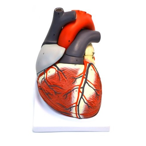 Eisco AM75AS Model Human Heart 7 Part Removable Dissectable