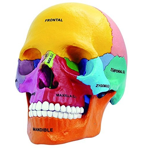 4D Master 26087 Anatomy Didactic Exploded Skull Model