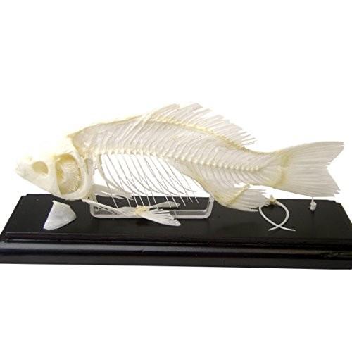 C & A Scientific – Premiere 51001 Real Fish Skeleton
