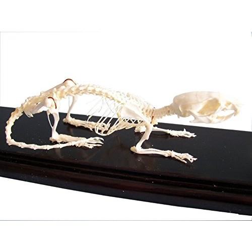 C & A Scientific – Premiere 51012 Real Rat Skeleton