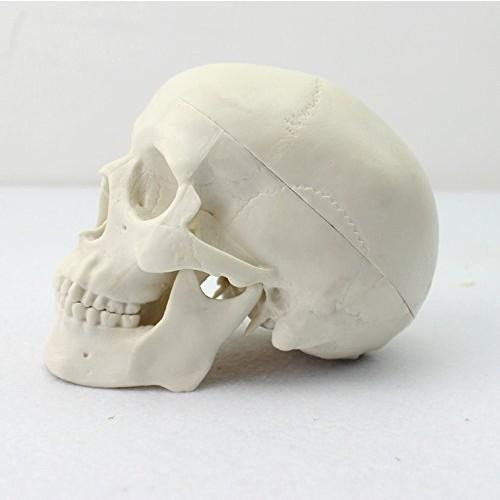 Ocean-Aquarius Mini Human Medical Anatomical Head Bone Skull Model Educational
