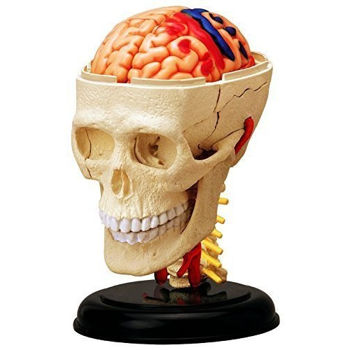 4D Vision Human Anatomy – Cranial Skull Model