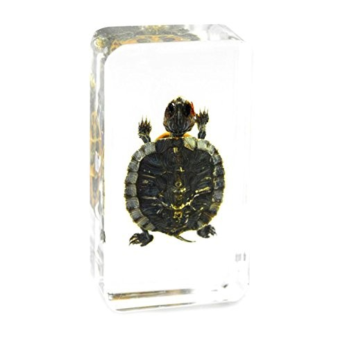 QTMY Biology Science World Collection of Real Insect Specimen Paperweight Tortoise 73x41x20mm