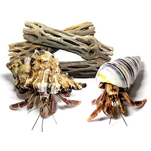Nature Gift Store 2 Live Pet Hermit Crabs+3 Cholla Exercise Logs Bundle Purple Pincher Land Crab
