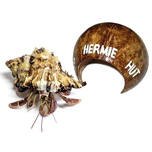 1 Live Pet Hermit Crab+Hermit Hut Natural Hideout Purple Pincher Land Crab
