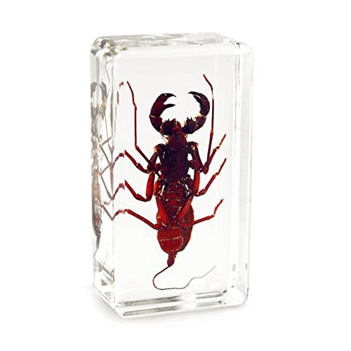 QTMY Biology Science World Collection of Real Insect Specimen Paperweight for Education Whip Scorpion