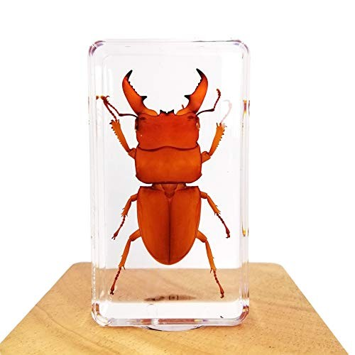 ACEVER Insect Specimen Resin Paperweight Biology Anatomy Education Teaching Tool Educational Toy Dorcus Titanus platymelus red