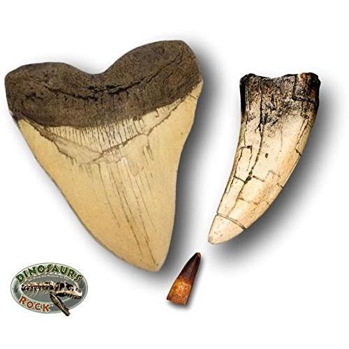 DINOSAURS ROCK Megalodon and Tyrannosaurus Rex Tooth