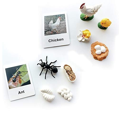 MEROCO Life Cycle of a Chicken and Ant Montessori 3 Part Animal flsah Cards Learning Educational Toys for Toddlers