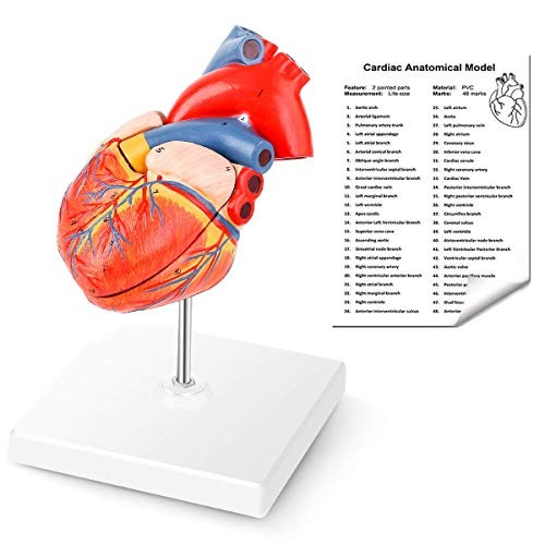 YOOVEE Anatomical Heart Model 2-Part Life Size Human Replica Accurate Numbered Medical Held Together with Magnets