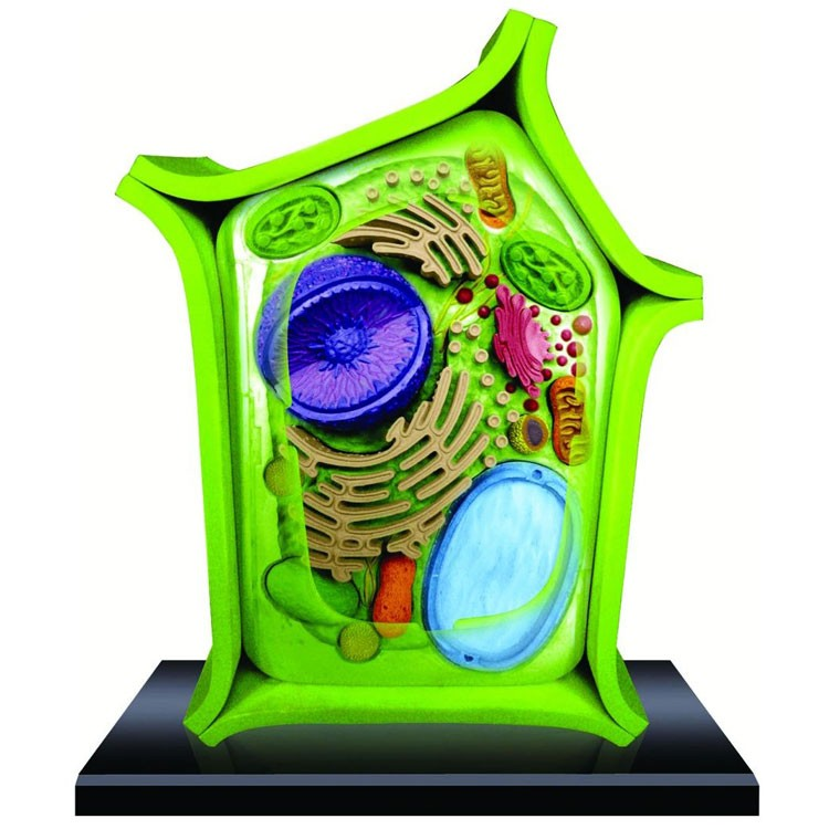 4D Science Plant Cell Model - Educational Toys Planet