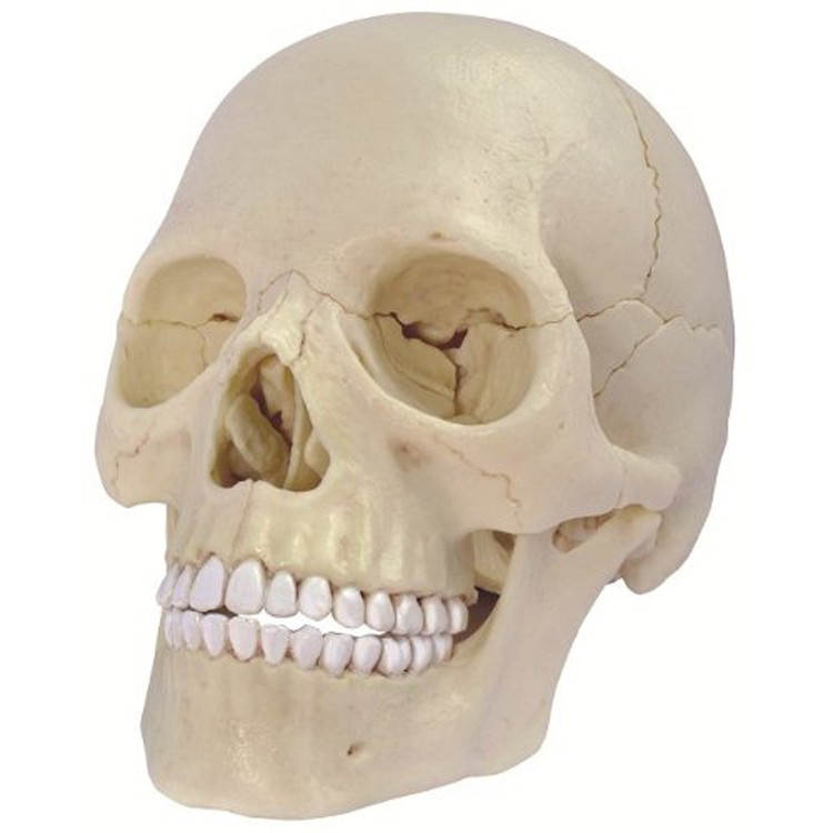 4D Human Exploded Skull Anatomy Model - Educational Toys Planet