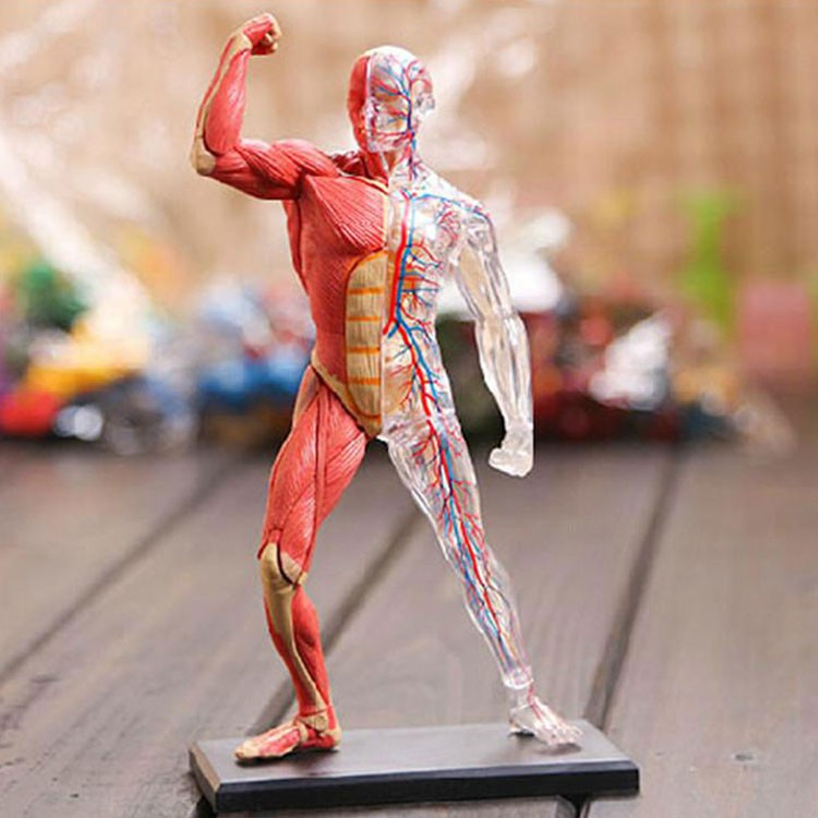 Human Skeleton Muscles 4d Anatomy Model Educational Toys Planet