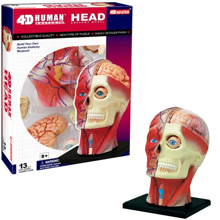 4D Human Head Anatomy Model - Educational Toys Planet