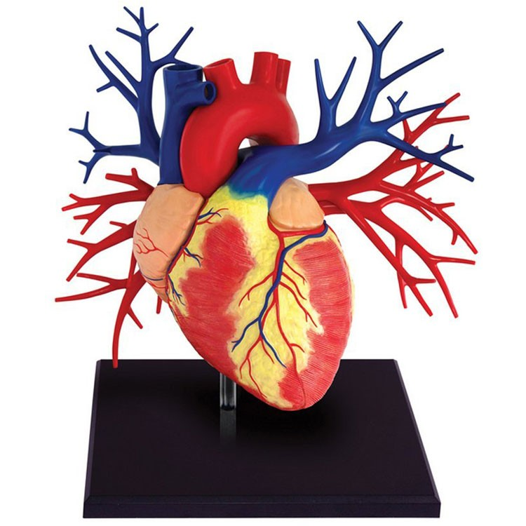 Human Heart Anatomy Life Size 4D Deluxe Model - Educational Toys Planet