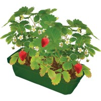 Grow Your Own Strawberries Plant Science Kit