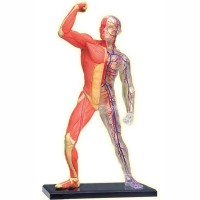 Human Skeleton & Muscles 4D Anatomy Model