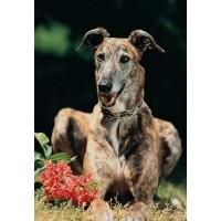 Greyhound 300 Piece Jigsaw