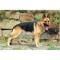 German Shepherd 1000 Piece Jigsaw