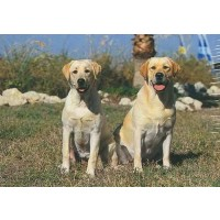 Yellow Labrador Retrievers 300 Piece Jigsaw