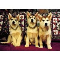 Siberian Huskies 300 Piece Jigsaw