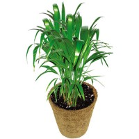 Grow Your Own Palm Tree Plant Kit
