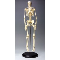 24 Inches Human Skeleton Model